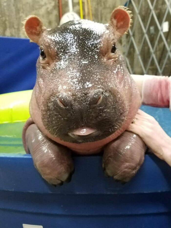 baby hippo pictures 20 (1)