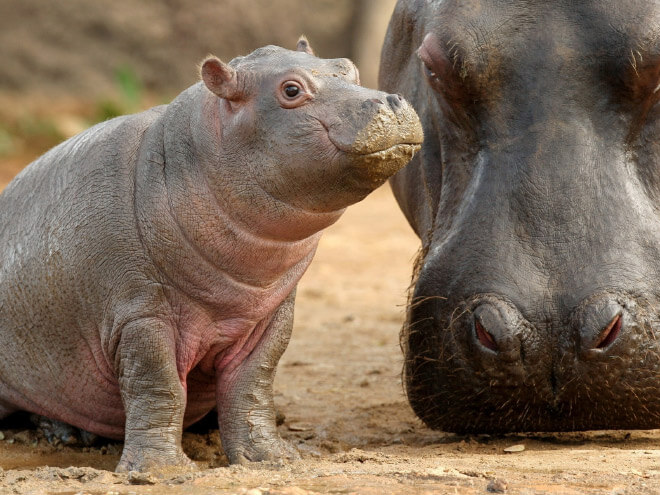 adorable hippo pictures 3 (1)