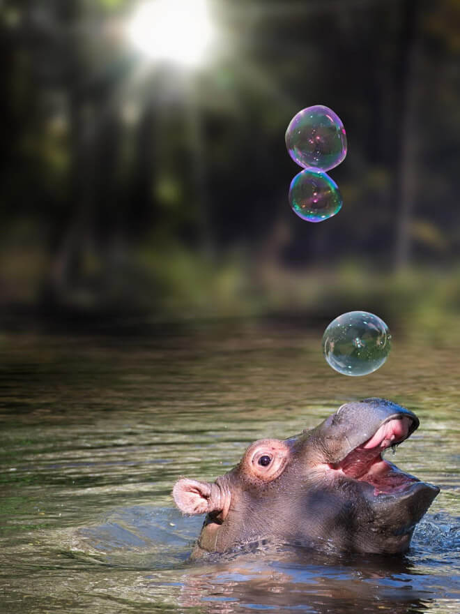 adorable hippo pictures 5 (1)