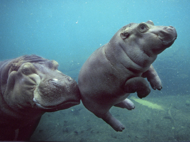 adorable hippo pictures 7 (1)