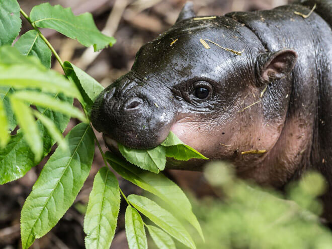 baby hippo images 9 (1)