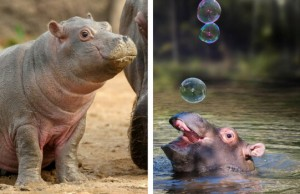baby hippo pictures feat (1)