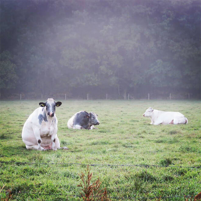 cows sitting like dogs 1 (1)