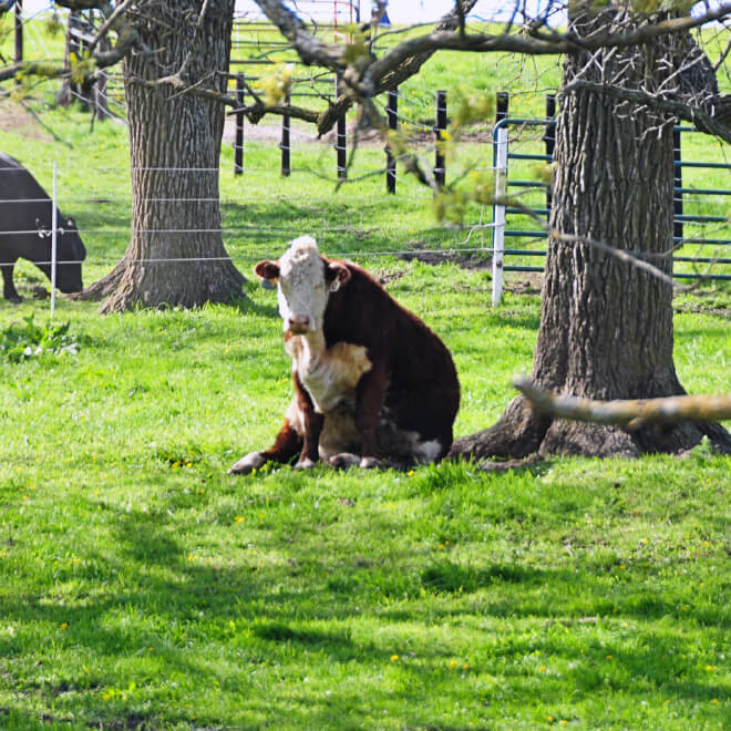 cows sitting like dogs 11 (1)
