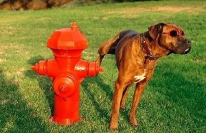 why do dogs pee on fire hydrants feat (1) (1)