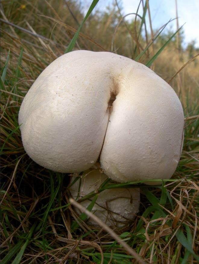 mushroom-butts