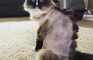 cat haircuts