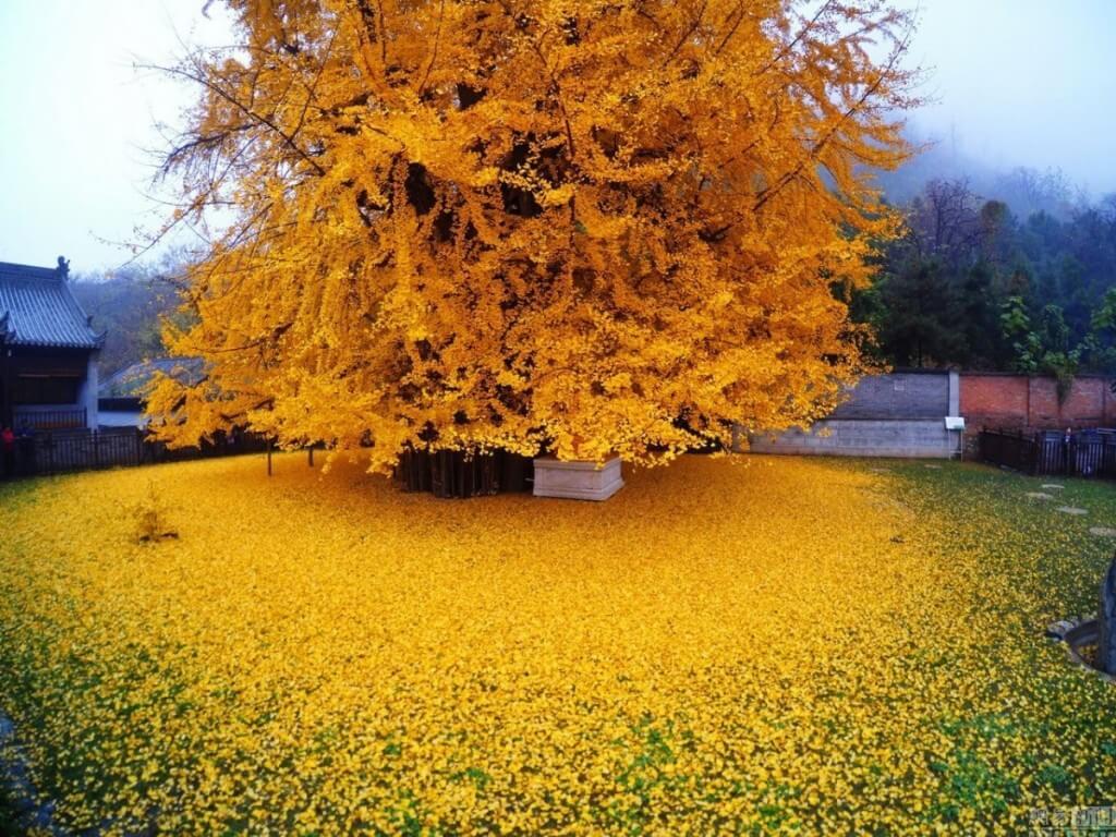 This Gingko Biloba Tree is older than the dinosaurs 2