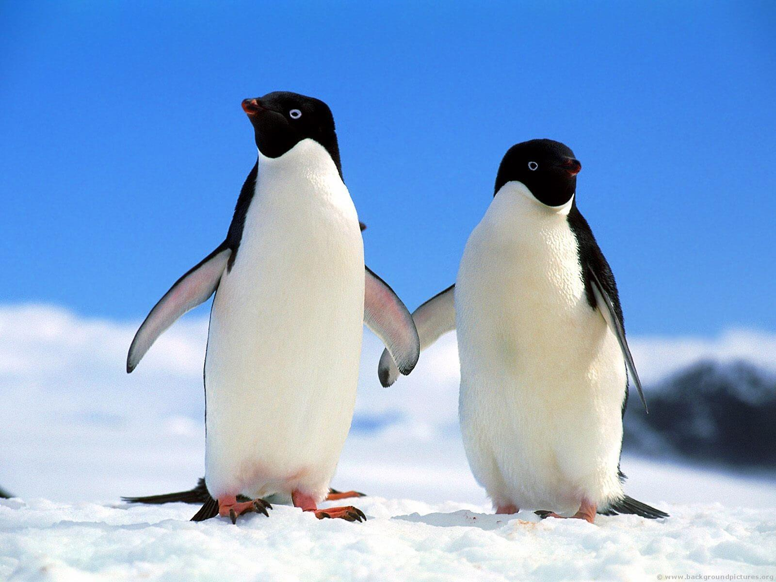 blonde penguin 6 (1)